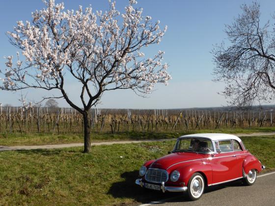 Mandelblüte 2021 in der Pfalz